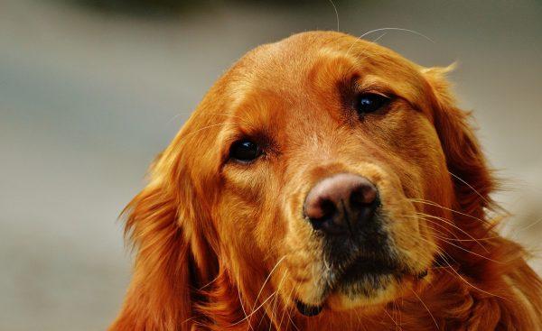 Cani di razza: che cos'è il pedigree e la sua importanza