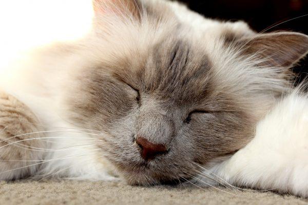 Come affrontare la gestazione dei gatti